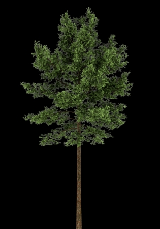 scots: scots pine tree isolated on black background