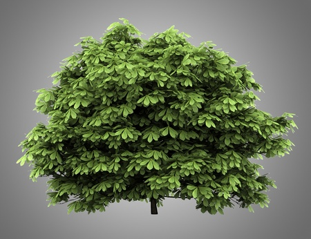 bottlebrush buckeye bush isolated on gray background photo
