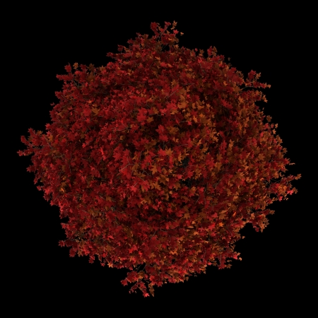 top view of red american sweetgum tree isolated on black background Stock Photo - 20840246