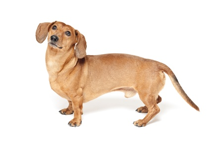 cute brown dachshund dog isolated on white background Stock Photo - 20910708