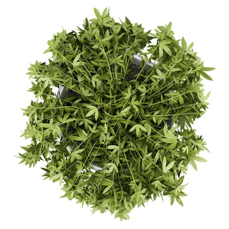 top view of decorative climbing plant in pot isolated on white background photo