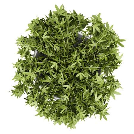 buisson: vue de dessus de plante grimpante décorative en pot isolé sur fond blanc