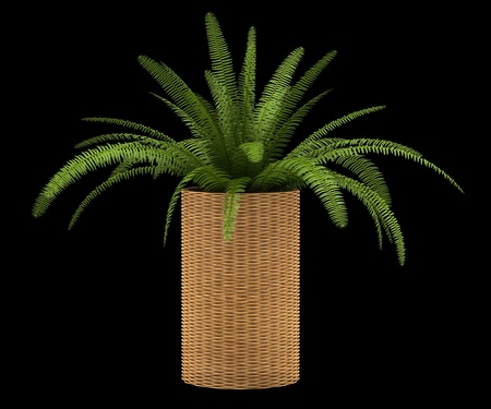 Potted plants: fern plant in pot isolated on black background