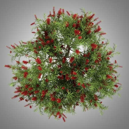 top view of bottlebrush tree isolated on gray background photo
