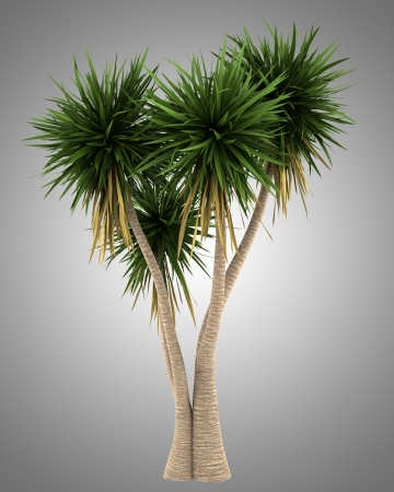 yucca: Yucca palm tree isolated on gray background Stock Photo