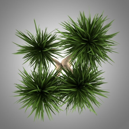 top view plant: top view of yucca palm tree isolated on gray background