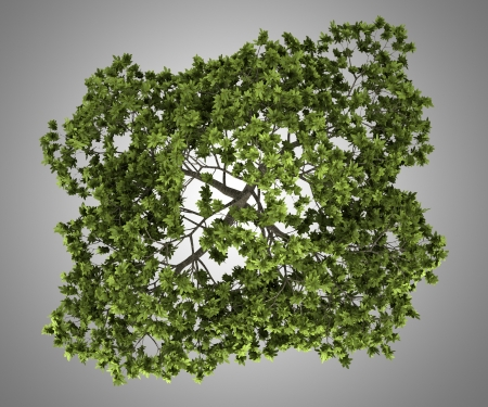 fig tree: top view of common fig tree isolated on gray background