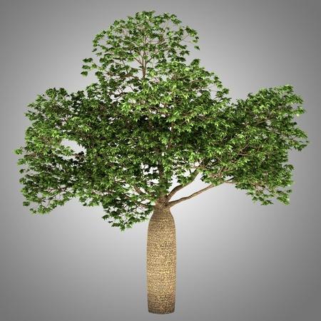 adansonia: Australian Boab tree isolated on gray background