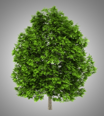 excelsior: european ash tree isolated on gray background Stock Photo