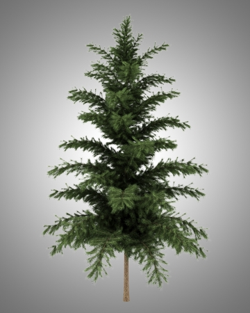 scots pine: scots pine tree isolated on gray background Stock Photo