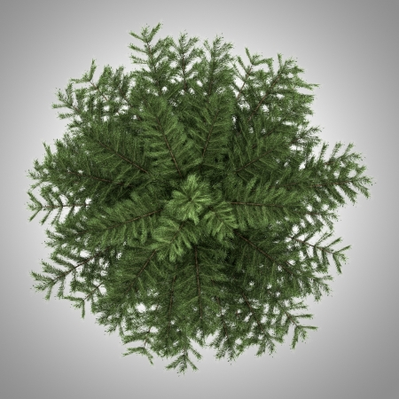 scots pine: top view of scots pine tree isolated on gray background