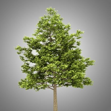 field maple: field maple tree isolated on gray background Stock Photo