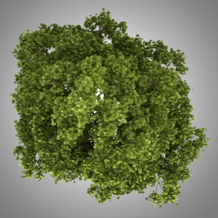 acer: top view of field maple tree isolated on gray background