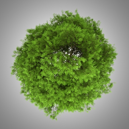 top view of tree of heaven isolated on gray background photo