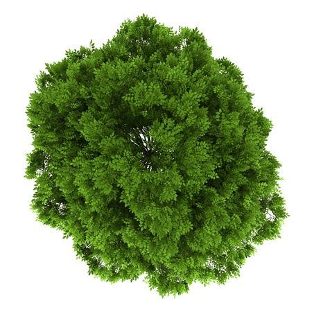 top view of european ash tree isolated on white background