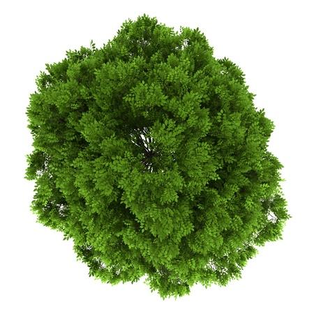 ash tree: vista dall'alto di frassino europeo isolato su sfondo bianco Archivio Fotografico