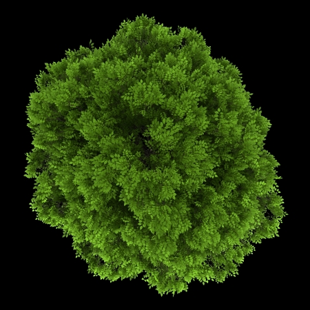 excelsior: top view of european ash tree isolated on black background