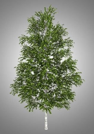 european white birch: european white birch tree isolated on gray background Stock Photo