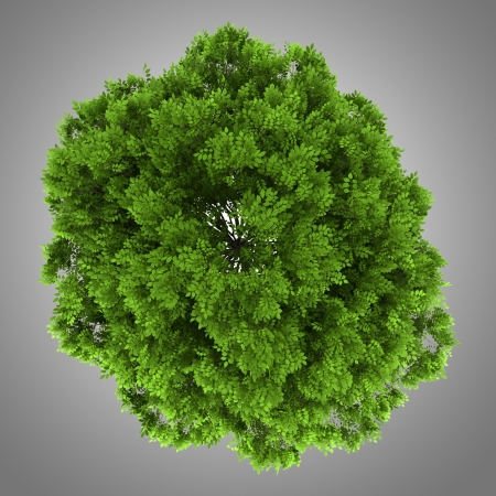 excelsior: top view of european ash tree isolated on gray background