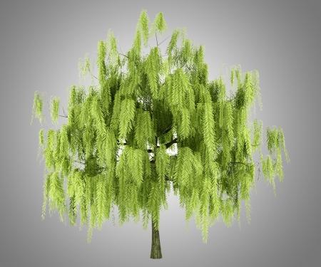 salix alba: willow tree isolated on gray background