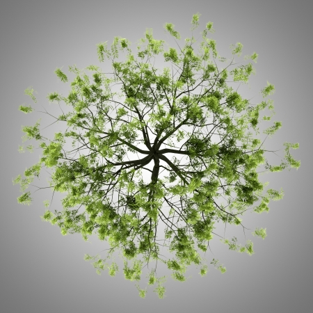 salix alba: top view of willow tree isolated on gray background