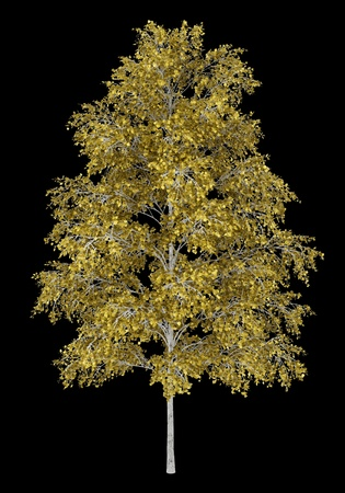 european white birch: european white birch tree isolated on black background