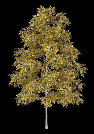 european white birch: european white birch tree isolated on black background
