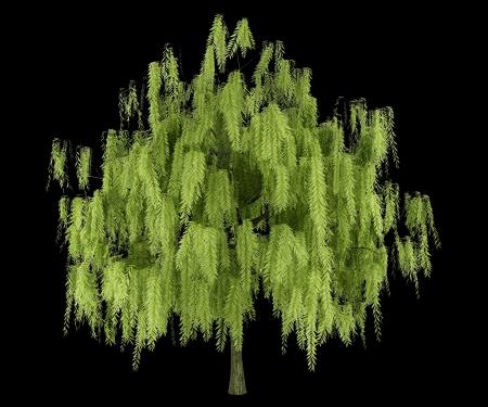 willows: willow tree isolated on black background Stock Photo