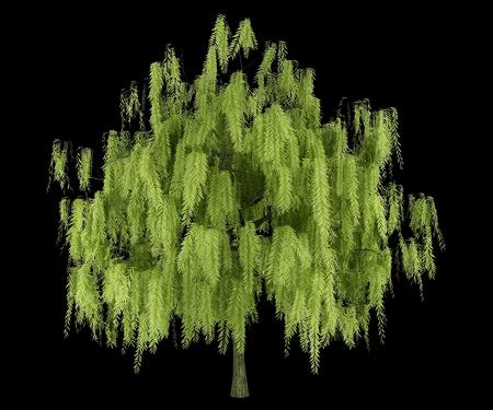 salix alba: willow tree isolated on black background Stock Photo