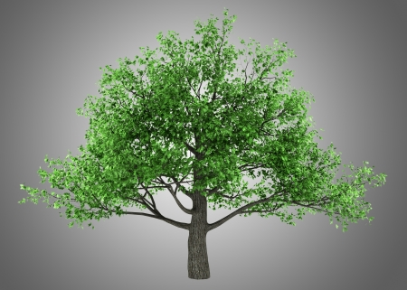 quercus robur: pedunculate oak tree isolated on gray background