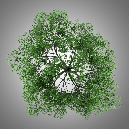 quercus robur: top view of pedunculate oak tree isolated on gray background Stock Photo