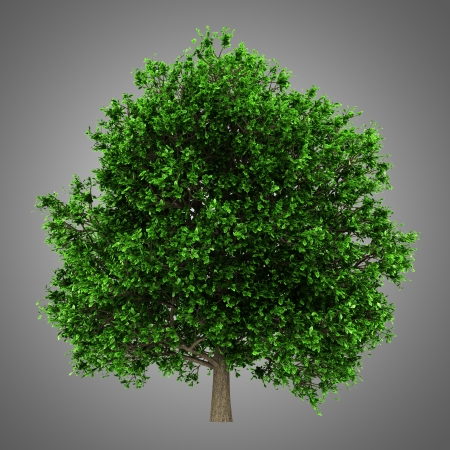 pedunculate oak tree isolated on gray background Stock Photo - 21362268