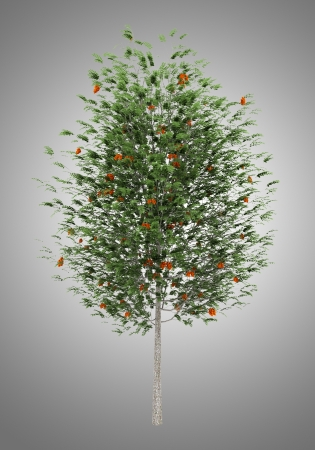 european rowan: european rowan tree isolated on gray background