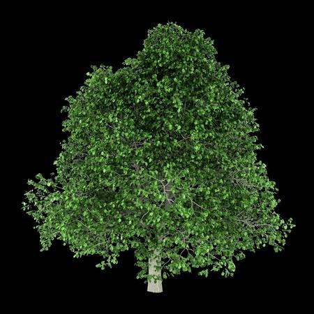 hornbeam: hornbeam tree isolated on black background