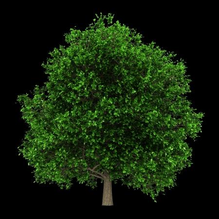quercus robur: pedunculate oak tree isolated on black background