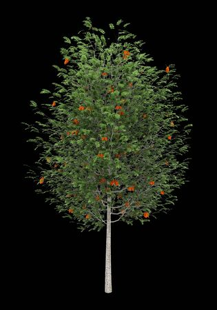 european rowan: european rowan tree isolated on black background Stock Photo