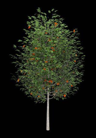 sorbus: european rowan tree isolated on black background Stock Photo