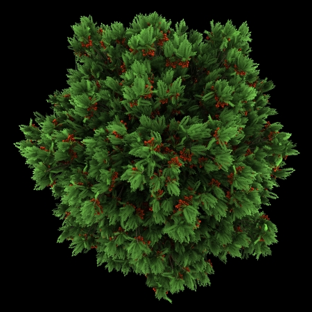 european rowan: top view of european rowan tree isolated on black background