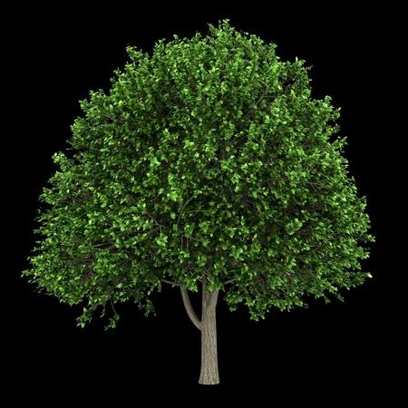 elm: american elm tree isolated on black background