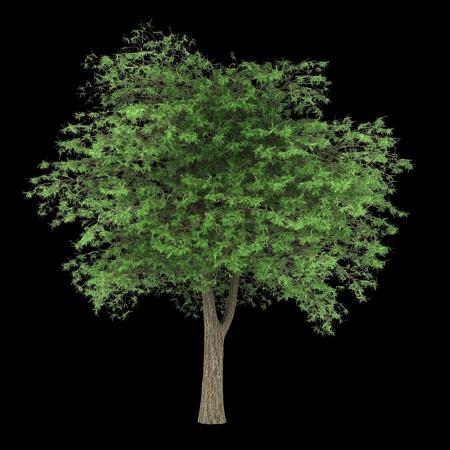 libani: lebanon cedar tree isolated on black background