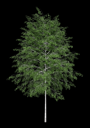 betula pendula: albero di betulla d'argento isolato su sfondo nero