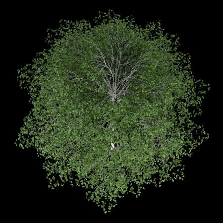 betula pendula: top view of silver birch tree isolated on black background