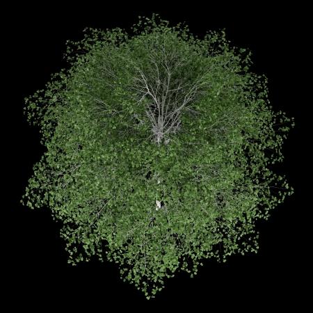 betula pendula: vista dall'alto di betulla d'argento isolato su sfondo nero