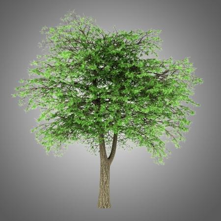 libani: lebanon cedar tree isolated on gray background Stock Photo
