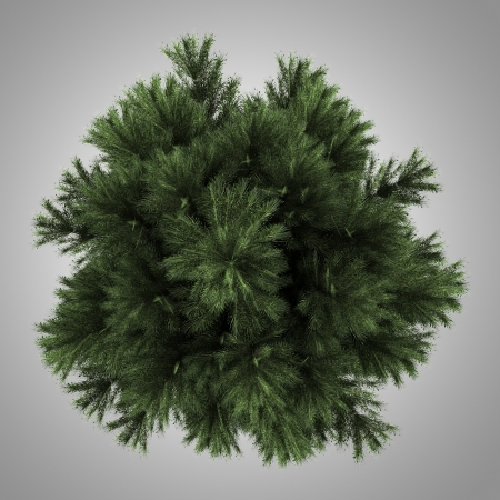 top view of european black pine tree isolated on gray background