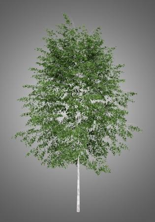 betula pendula: albero di betulla d'argento isolato su sfondo grigio