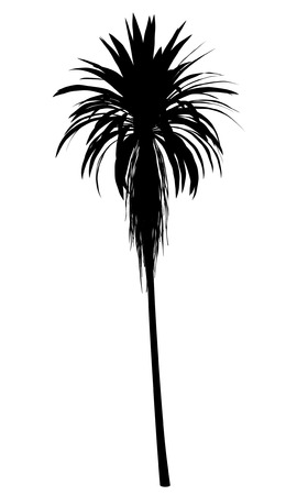 cordyline: silhouette of mountain cabbage palm tree isolated on white background Stock Photo