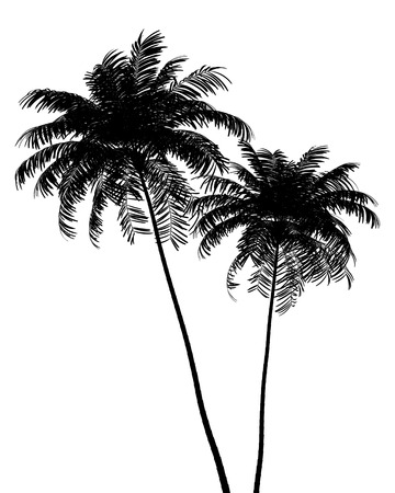 palm trees silhouette: silhouette of two Areca palm trees isolated on white background Stock Photo