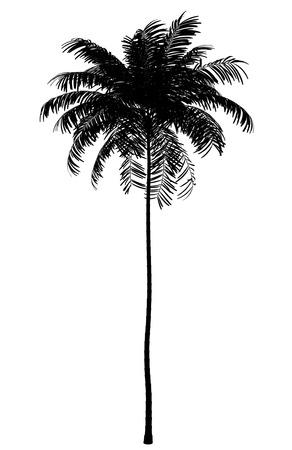 arboles blanco y negro: silueta de la palmera areca aislado en fondo blanco Foto de archivo