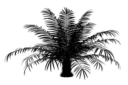 sugar palm: silhouette of sugar palm tree isolated on white background